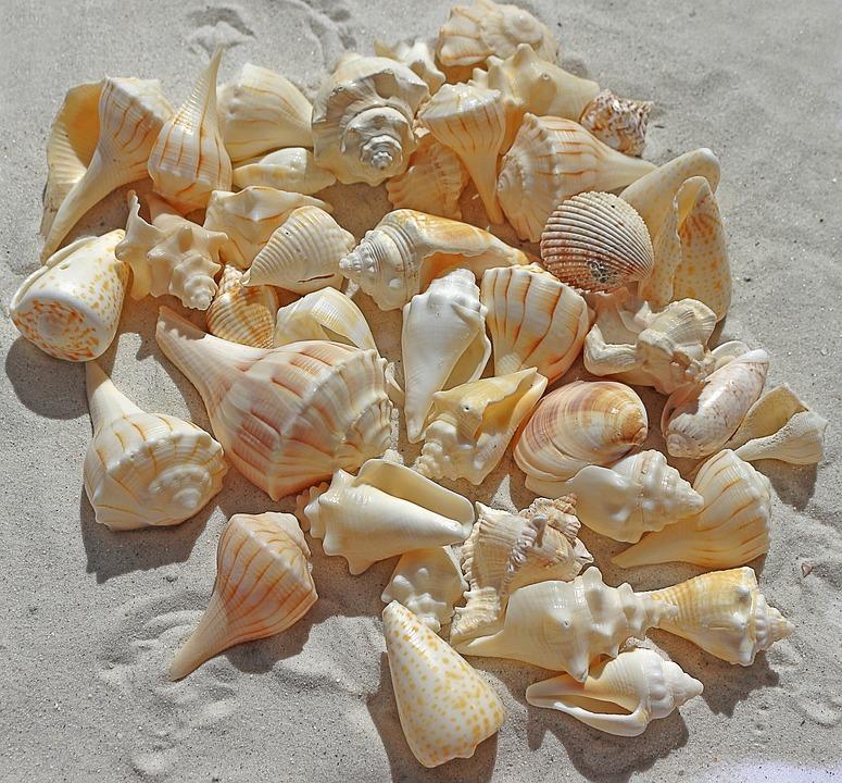 zeeschelpen free picture